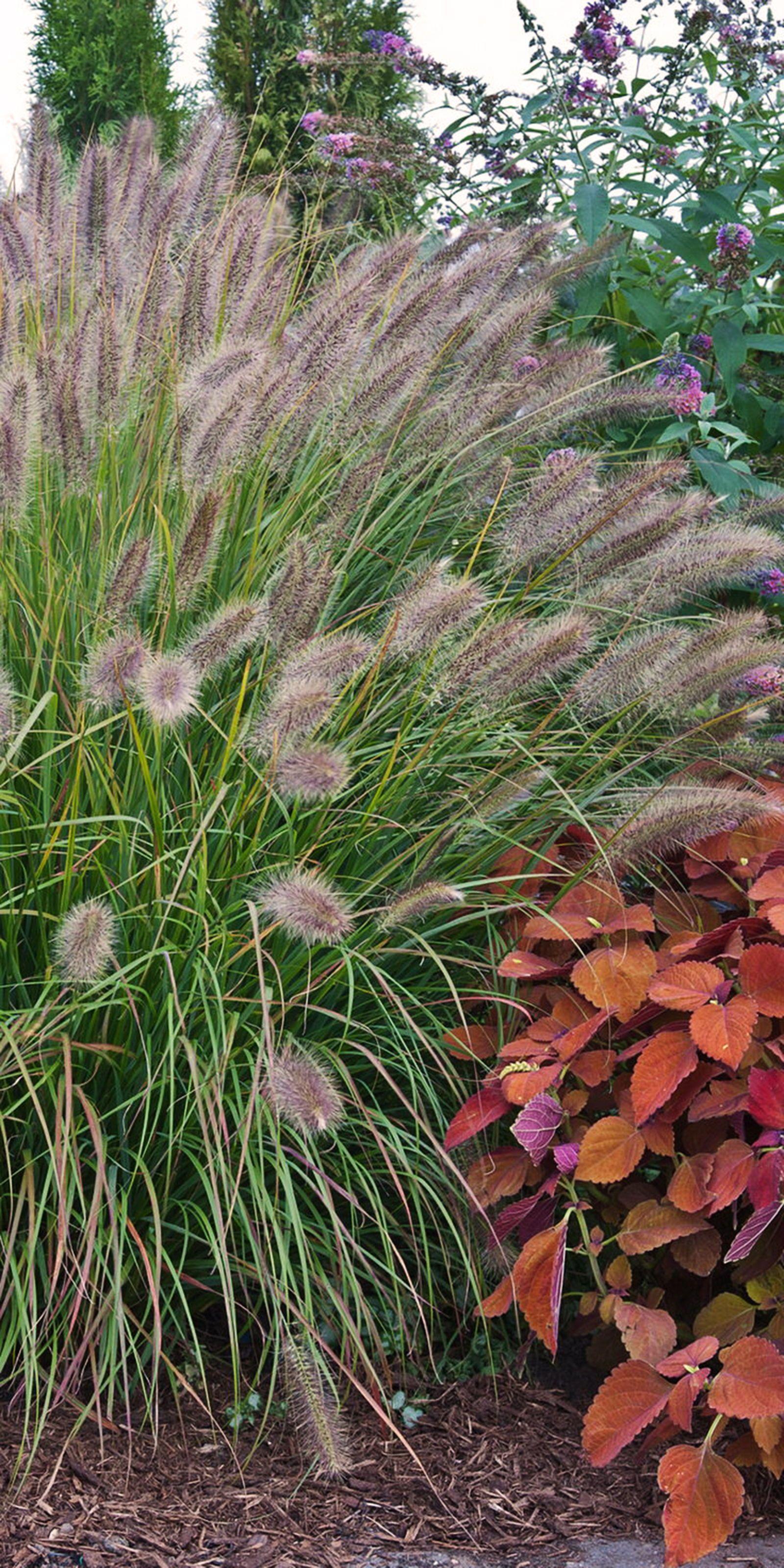Prairie Winds Desert Plains Fountain Grass Pennisetum Alopecuroides Shade Plants Autumn Garden Ornamental Grasses