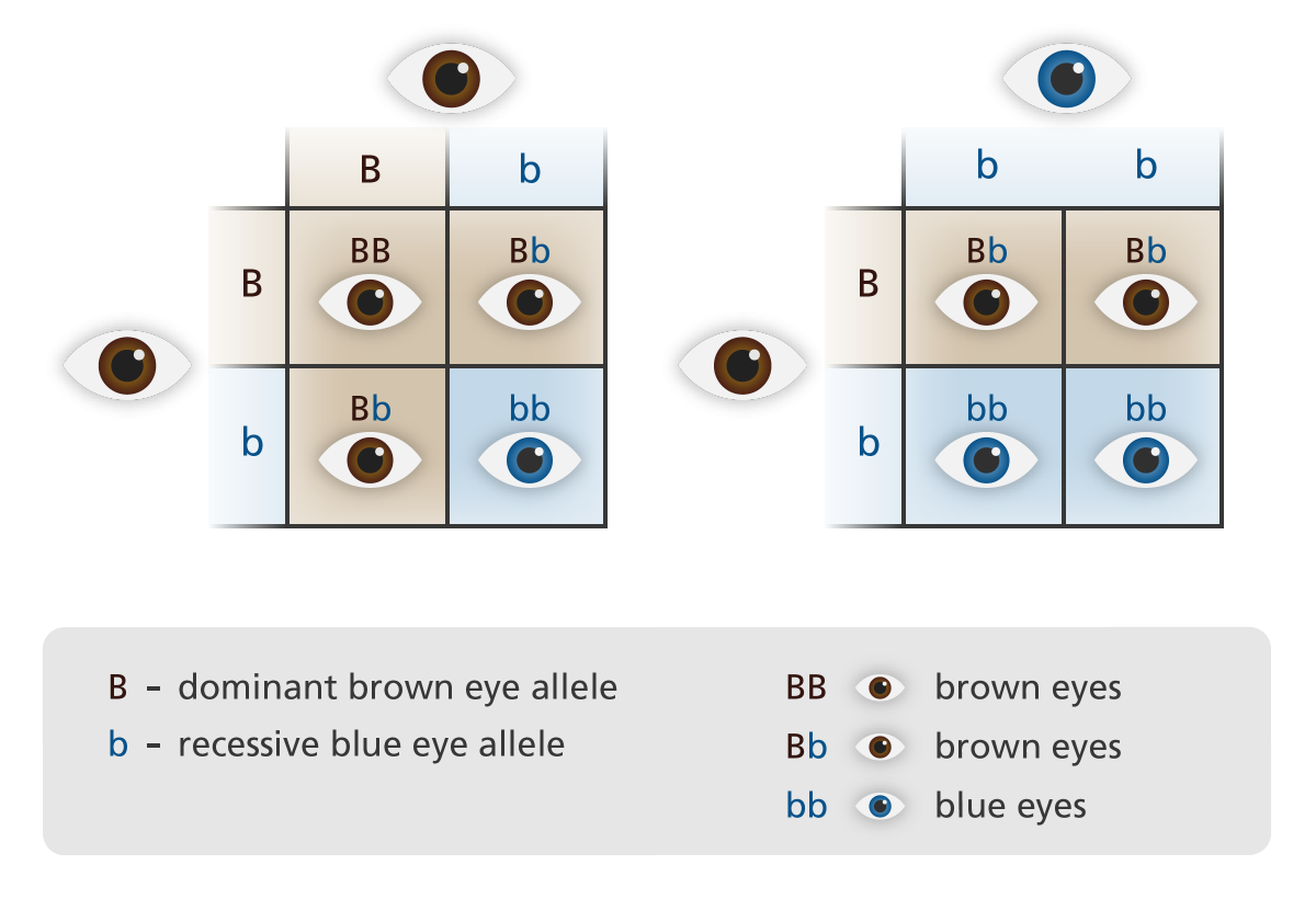 Do your students know that their eye color is a phenotype that is  determined by dominant