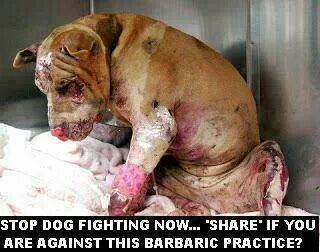 STOP DOG FIGHTING NOW Pit Bulls and Lesser Animals