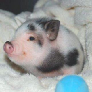 I Officially Want A Baby Teacup Pig