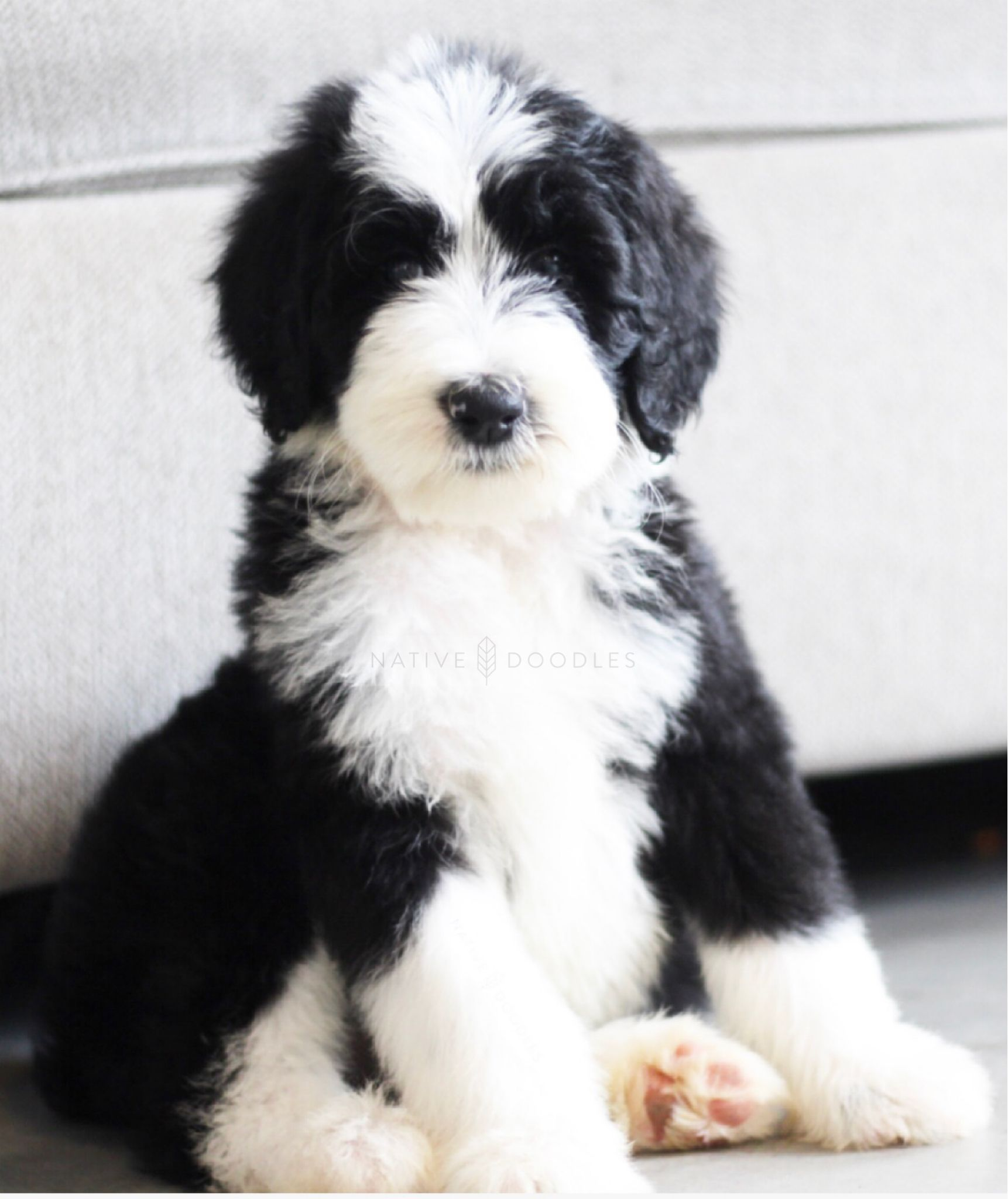 Sheepadoodle From Native Doodles Genetically Health Tested Sheepadoodle Sheepadoodle Puppy Goldendoodle
