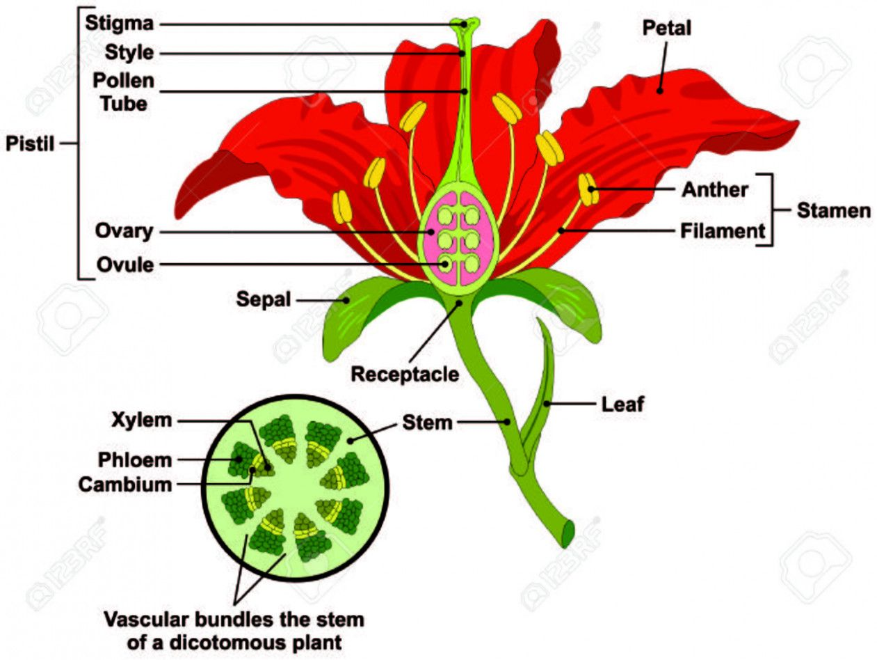 Everything You Need To Know About Parts Of Rose Flower Parts Of Rose Flower Http Bit Ly 2t7n37j Parts Of A Flower Flower Structure Types Of Flowers