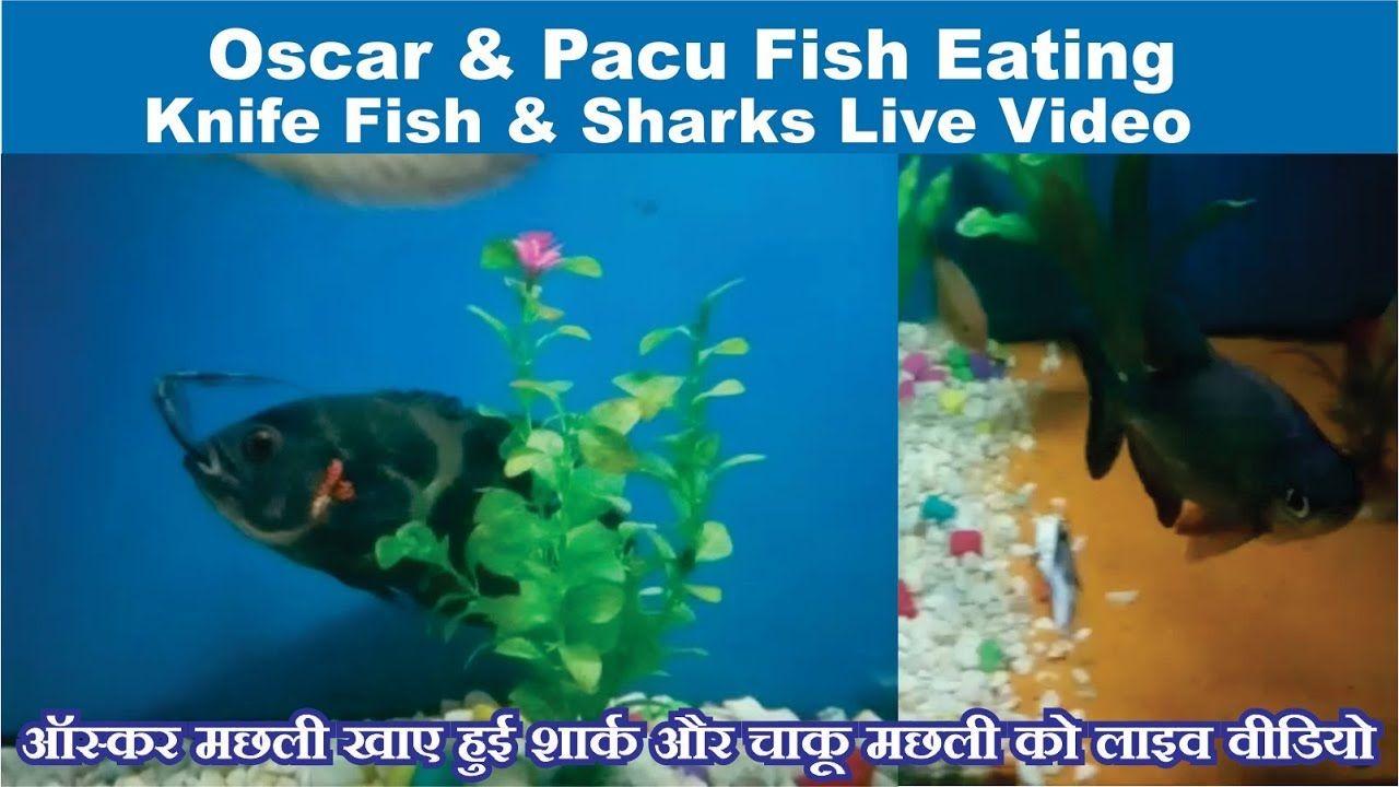 Oscar Pacu Fish Eating Ghost Knife Fish Sharks Fish Alive Oscarfish Oscar Fish Fish Pacu Fish