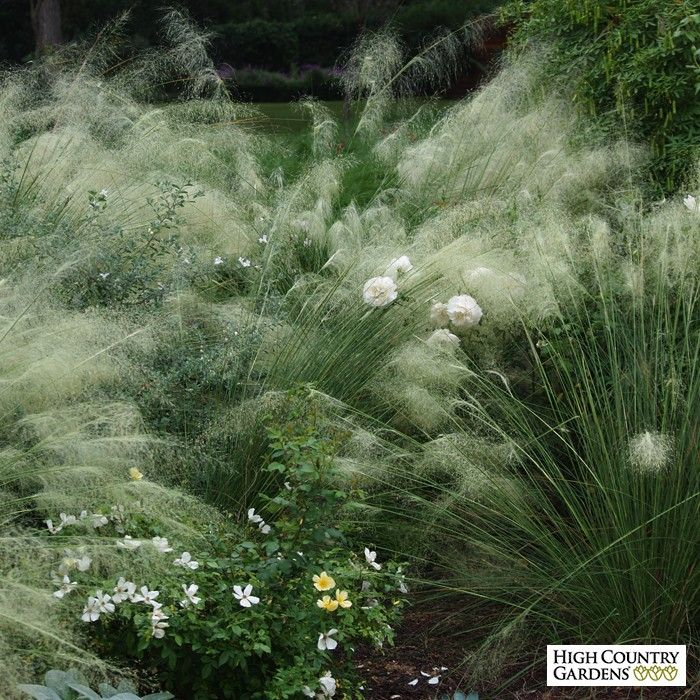Muhlenbergia capillaris 39 white cloud 39 white cloud muhly for Large grasses for gardens