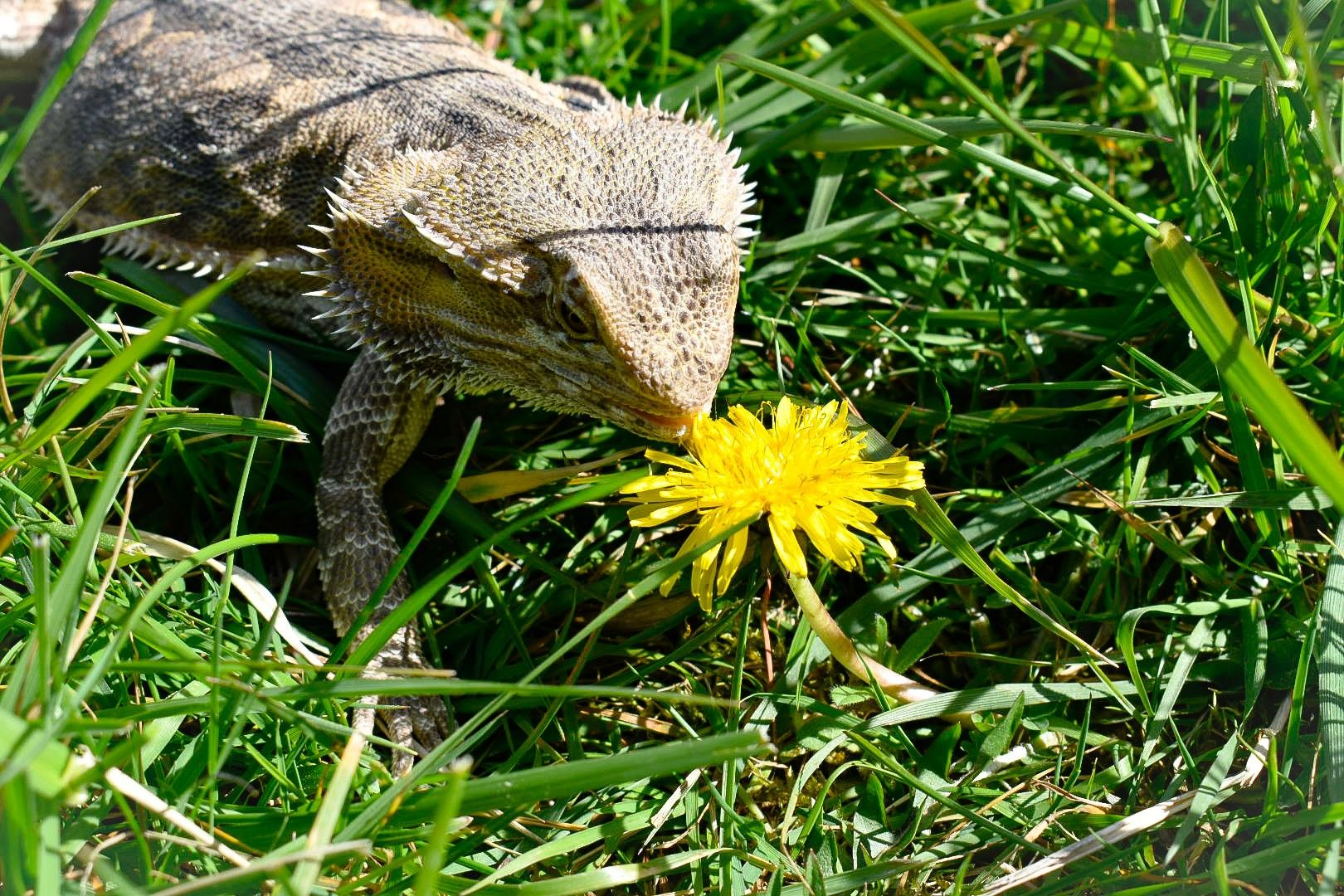 Bearded Dragon And Dandelion In 2020 Bearded Dragon Animals Lizard