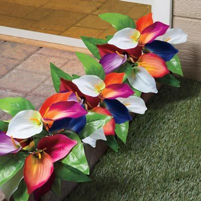 rainbow calla lily plant