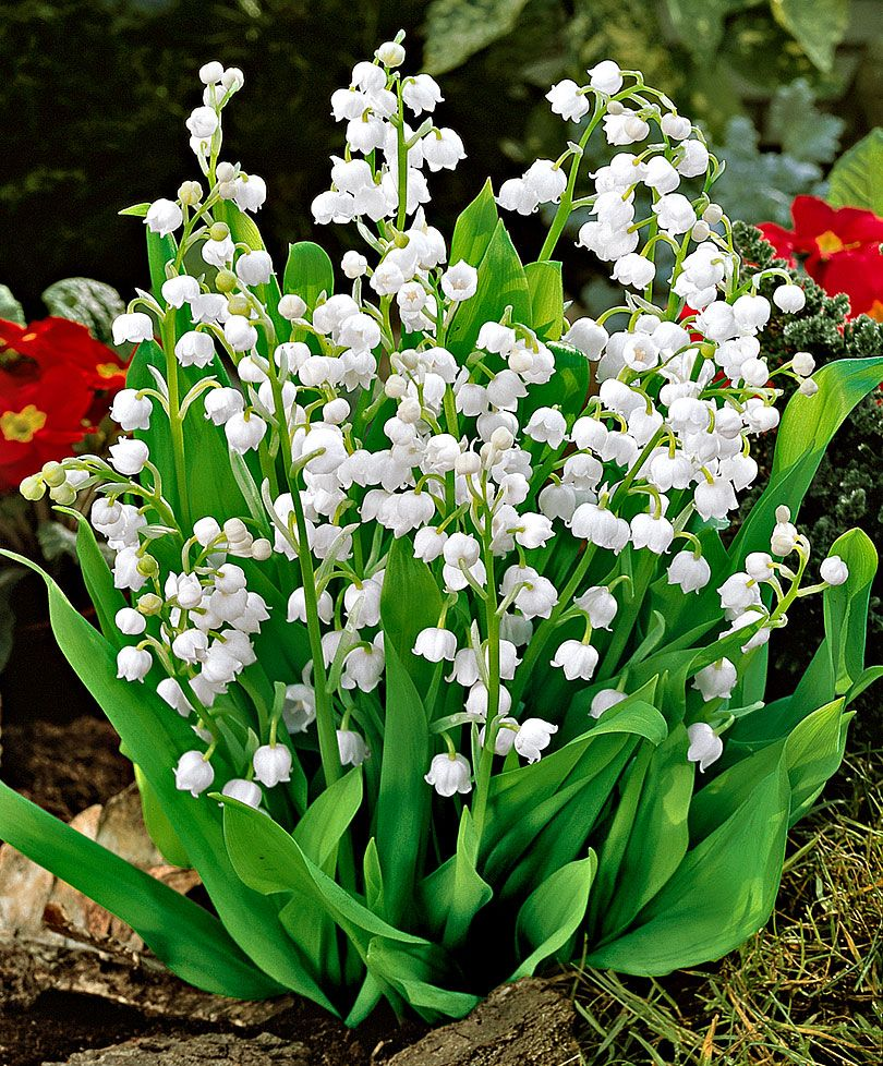 Lily of the valley amazing gift of nature pinterest flower lily of the valley izmirmasajfo Gallery