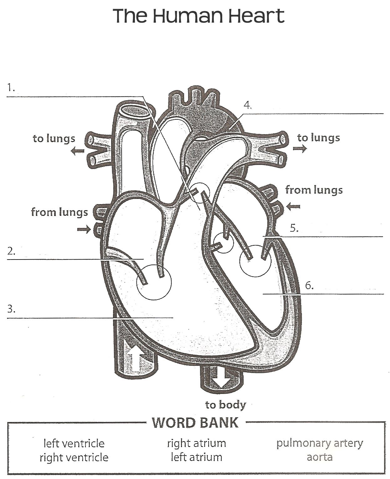 Diagram Of Heart With Labels Simple Simple Diagram Of Human Heart