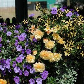 Association pour jardinière ou suspension : Bégonia Belleconia® Chardonnay. Dichondra, Surfinia et Pétunia  Sunflower Ray®.