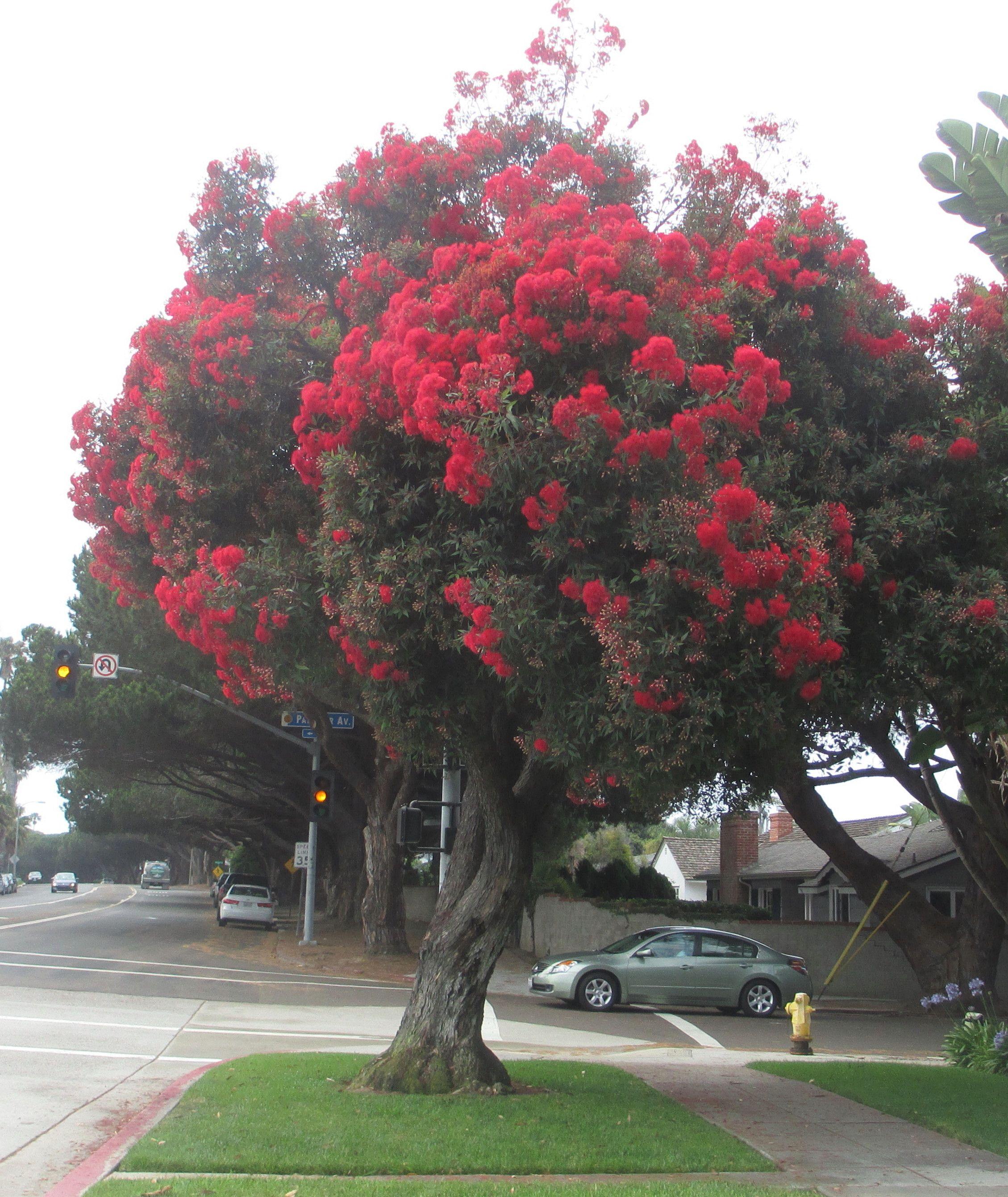 Arbre fleurs rouges art bretelle pinterest arbre feuillu feuillus et fleurs rouges - Arbres a fleurs rouges ...