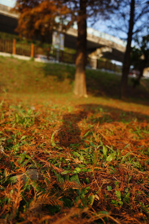 大湖公園-落羽松林