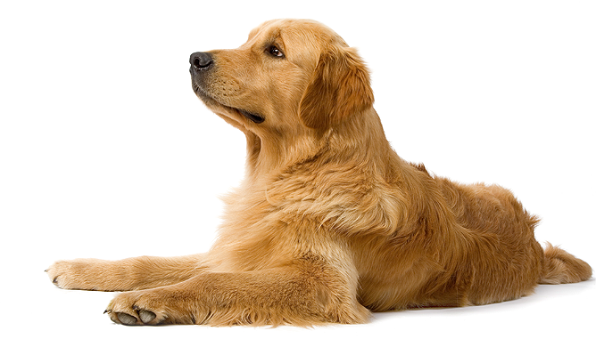 Pin By Dog Lover On Minimalism Domesticity In 2021 Golden Retriever Dogs Golden Retriever Retriever Dog