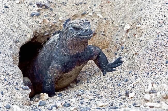 Marine Iguanas Begin To Nest