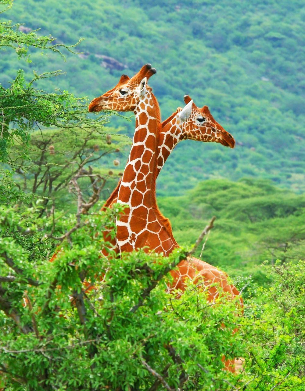 Giraffe #africa #travel #safari