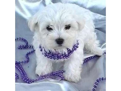 Maltese Puppies For Sale In Norfolk Va Maltese Puppy Maltese Puppies For Sale Maltese Dogs