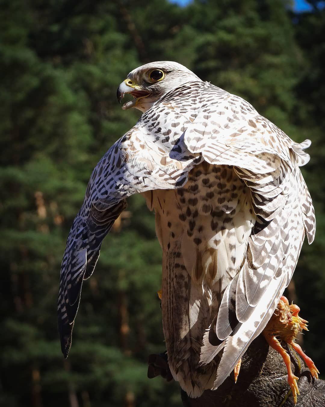 Gyrfalcon Falcon Falcons Birds Birdofprey Birdsofprey Photography Photographer Photo Capture Nikon Niko Falcon Art Animal Photography Birds Of Prey