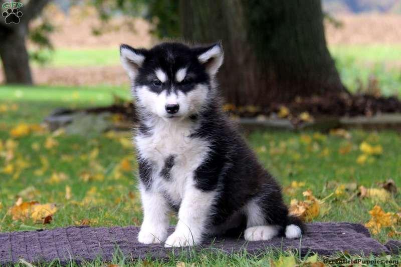 Sonya Alaskan Malamute Puppy For Sale In Pennsylvania Alaskan