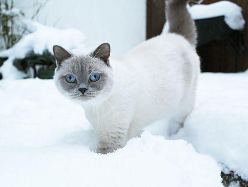 Lilac British Shorthair Cat Britishshorthair British Shorthair Cats British Shorthair Cute Cats