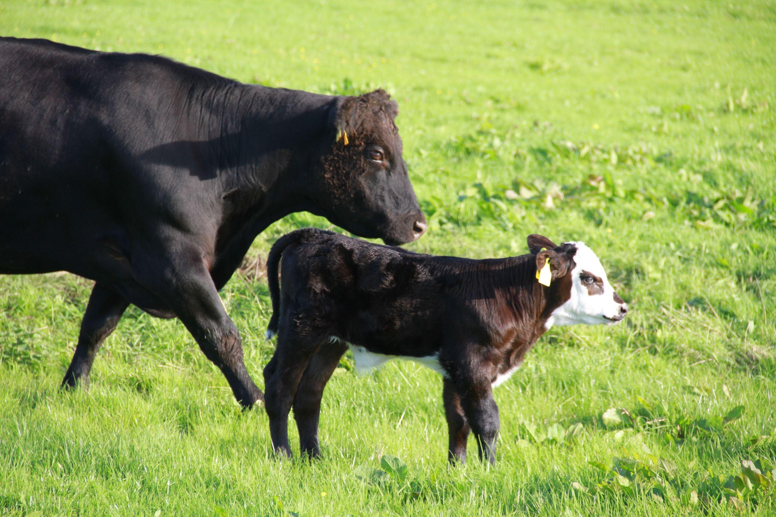 img 3397 jpg 2 592 1 728 pixels paisley cattle pinterest