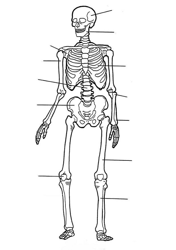Kids N Fun Coloring Page Human Body Human Body Skeletal System Worksheet Human Skeleton Anatomy Human Body