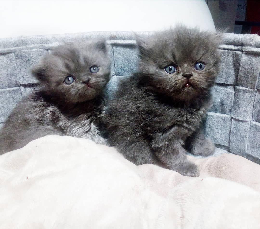 Follow Us For More:Alf y Anubis. Hijos de Matilda . Vaya par de guapazos. . Haz equipo con tu gato  . @dos_adiestramiento_gatos . #dos #adiestramiento #hazequipocontugato #gato #cat #educacionfelina #cateducation #cattraining #catlovers #catlove #meow #persiancat #gatopersa #gatita #guapas #chicasguapas  #persiancatsofinstagram #miau #kitten #lovemycat #cute #cutecat #mundonaranja