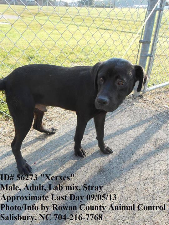 """Last Day 9/05/13 * 56273 """"Xerxes""""  Adult, Male, Lab Mix, Stray. Adoption fee $70 - goes towards spay/neuter and 1 yr rabies vaccine.  Rowan Cty Shelter (Salisbury, NC) 704-216-7768  https://www.facebook.com/photo.php?fbid=584692674905612=a.584692668238946.1073742611.331561090218773=1_count=1"""