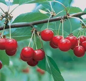 North Star Pie Cherry Sour Cherry Tree Cherry Tree Fruit Trees