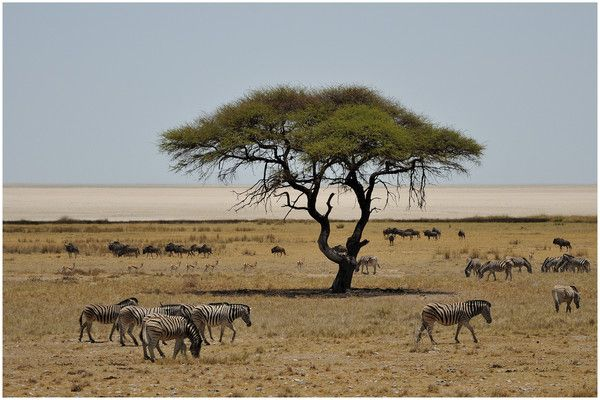 Dans la savane africaine recherche perso pinterest - Animaux savane africaine ...