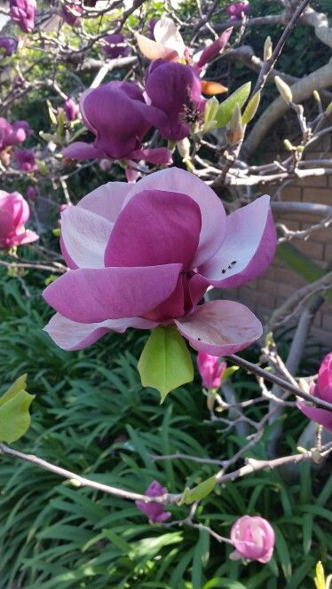 Early blooms of Magnolia in Southern California