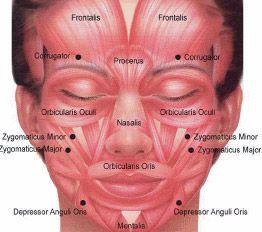 facial muscles aku og face ansigter massage og zoneterapi. Black Bedroom Furniture Sets. Home Design Ideas