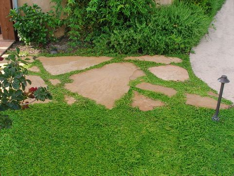 Tiny Tight Green Leaves On Creeping Stems Form An Extremely Dense Evergreen Ground Cover Foliage Turns R Lawn Alternatives Ground Cover Plants Outdoor Gardens