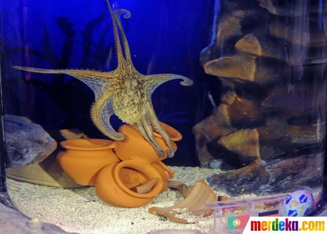 Gurita Paulus ini hidup di Sea Life Aquarium di Porto, Portugal. Dia mengikuti jejak gurita Paul yang sukses di Piala Dunia 2010.