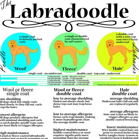 Labradoodle Coat And Grooming Infographic For Your Grooming Shop