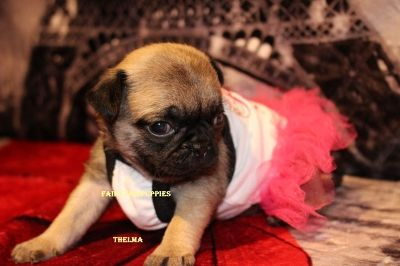 Fairytailpuppies Where Pets Are Family Too Thelma Pet Home Pugs