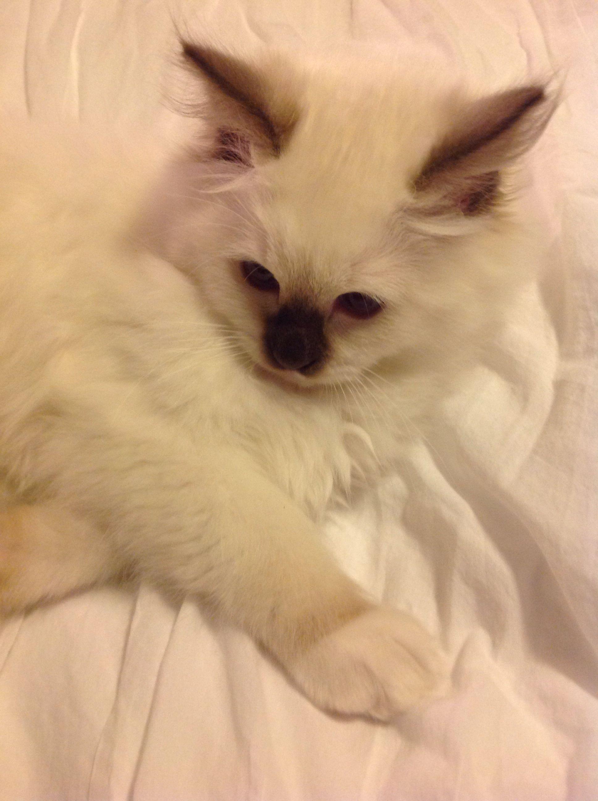 Rowan Wyatt 3 Month Old Ragdoll Of Kiki Ragdolls Ohio 11 14 Ragdoll 3 Month Olds Animals
