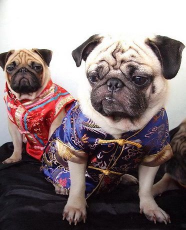 Pugs Were Most Likely Originally Bred As Lap Dogs For Chinese