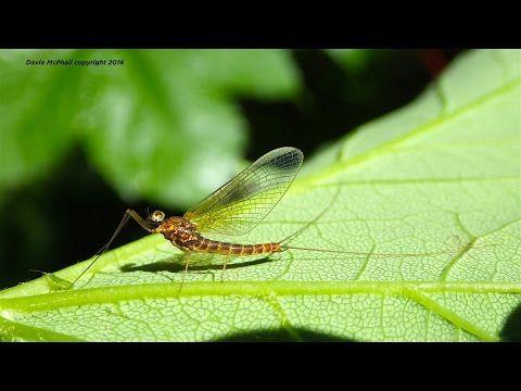 Tying a Coq de Leon Spent Spinner by Davie McPhail - YouTube