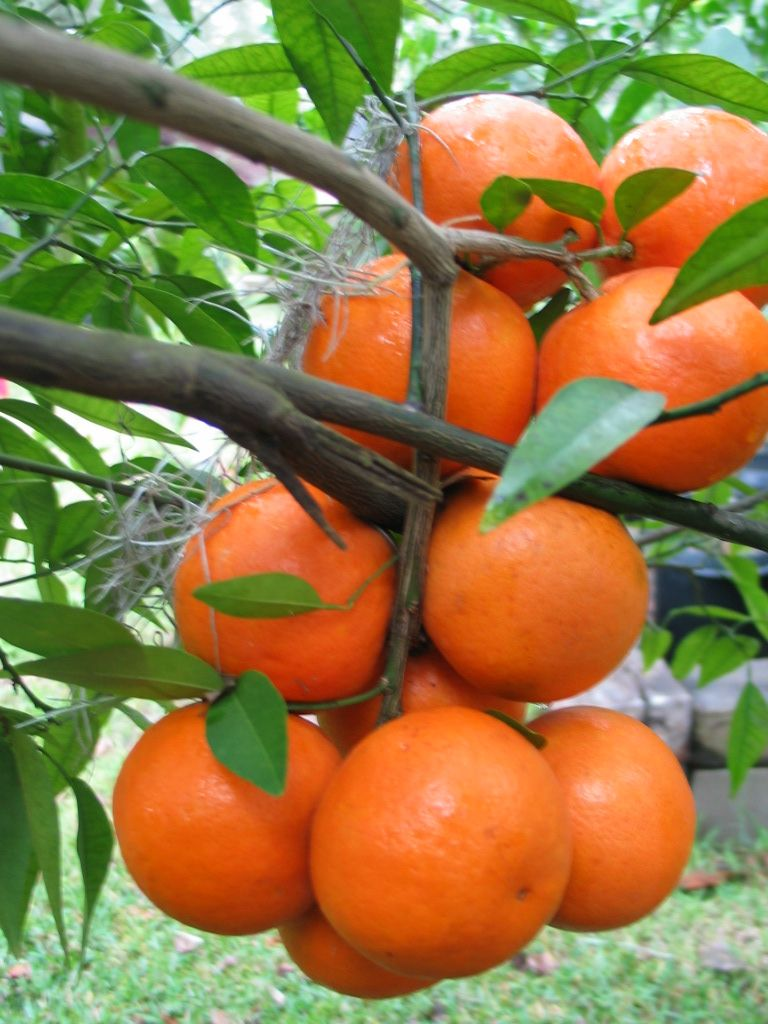 Fairchild Mandarin Is A Bright Orange Colored Both Inside And Outside Colorful Fruit