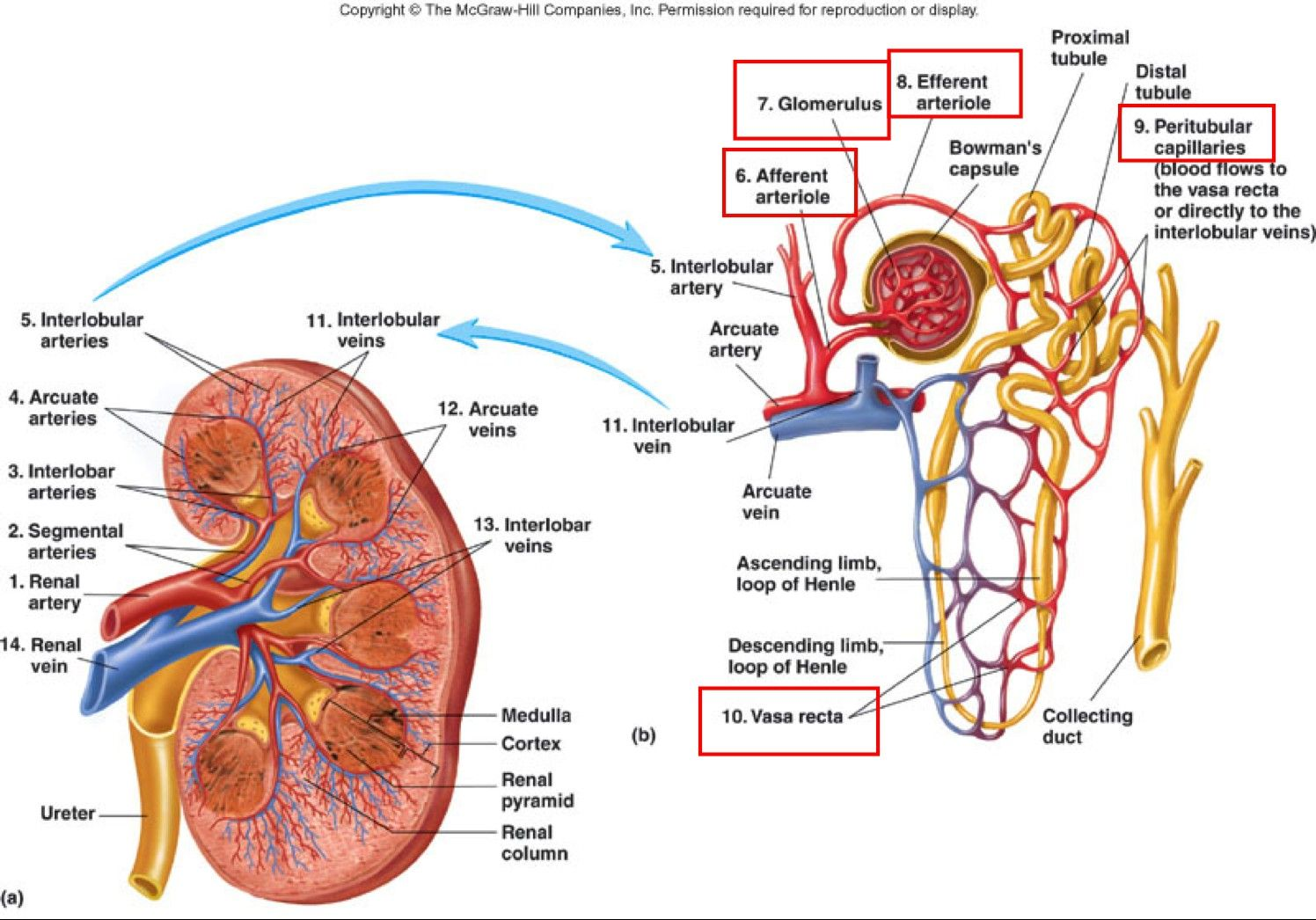 Where Are Your Kidneys Diagram Elegant Human Anatomy Kidney Anatomy And Function Kidneys Anatomy