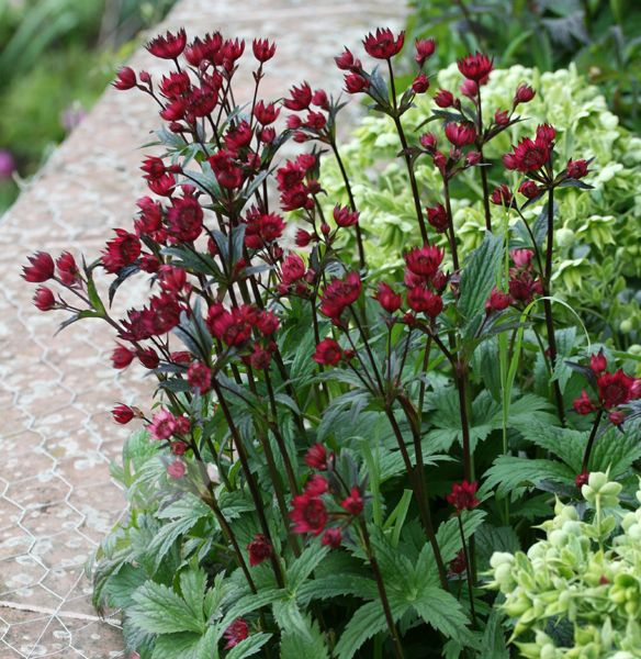 masterwort Astrantia major 'Claret': full sun partial shade, june to august, stems to 1m, good foiliage hardy £10