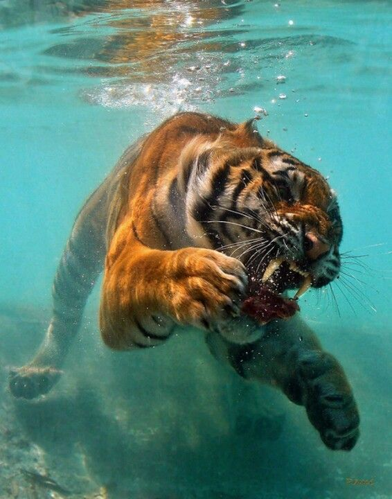 Tigre Tiger  The water tiger - tigers are endangered love a tiger support tigers appreciate tigers