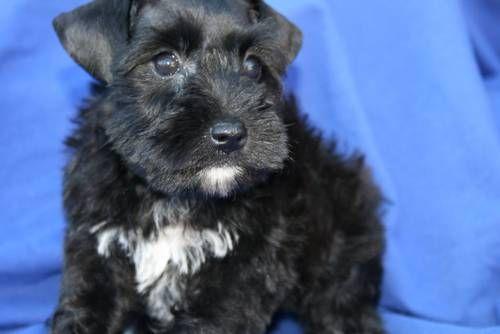 Akc Miniature Schnauzer Toy Size Black Male Dogs And Puppies Dogs Miniature Schnauzer
