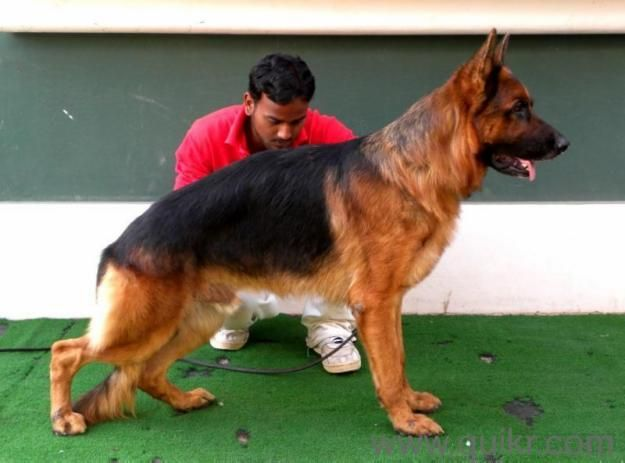 German Shepherd Puppies For Sale In Udaipur 09460308899 Type Dogs