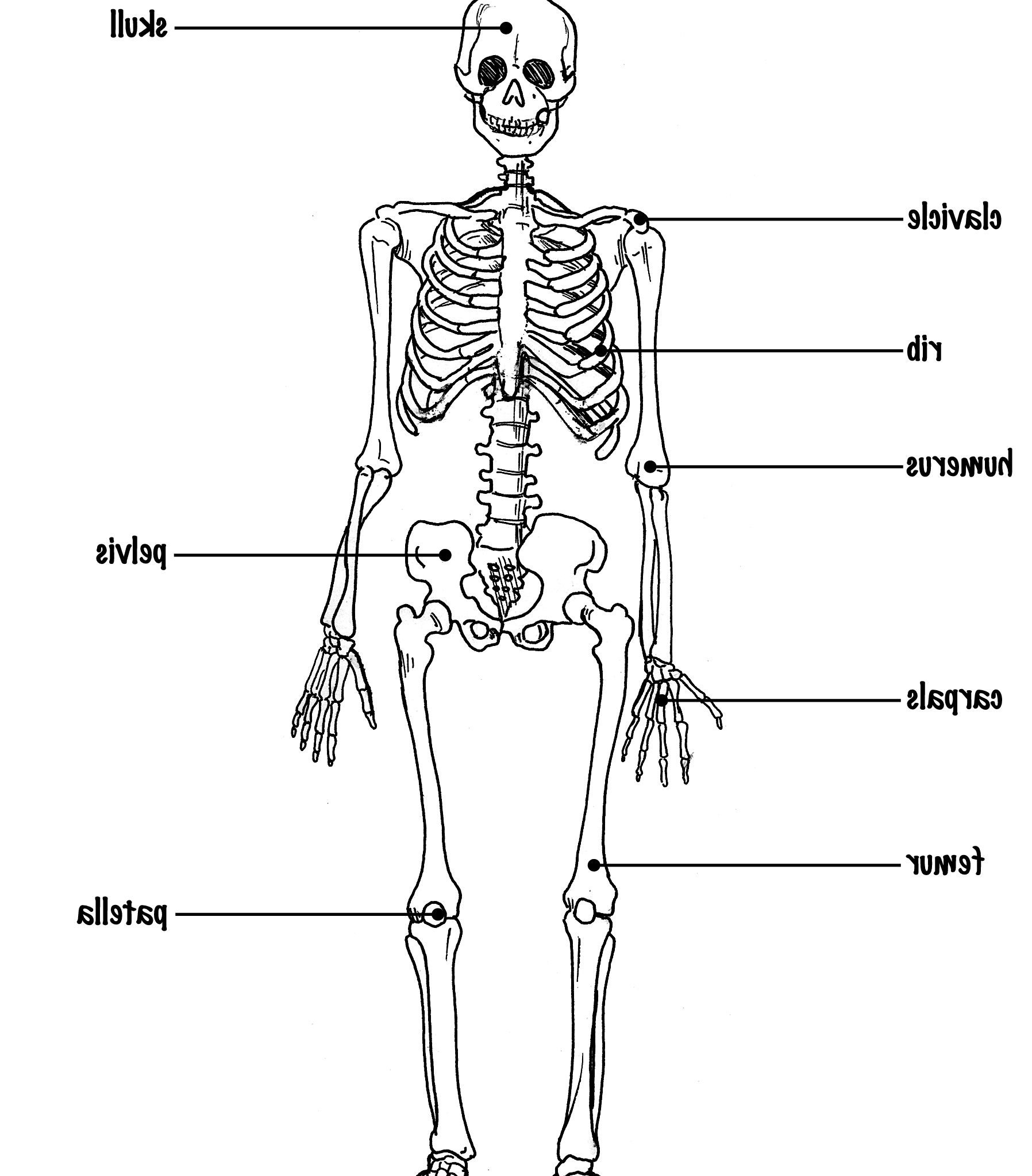 The Skeletal System Diagram Labeled  The Skeletal System Diagram Labeled Skeletal System