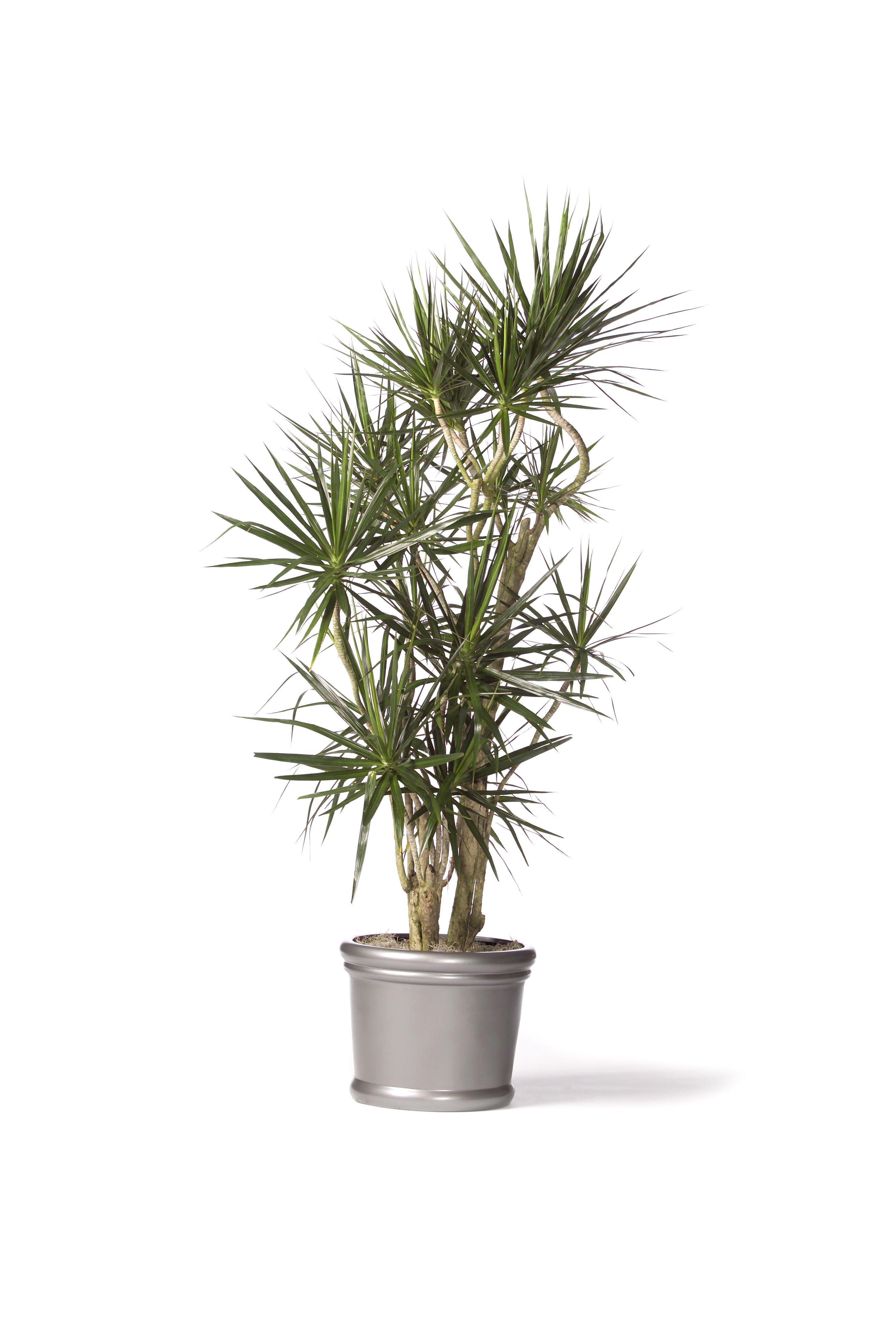 Dracaena marginata , red-edged dracaena | Top Houseplants ...