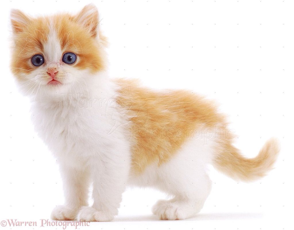 Gingerkit Friends Are Nightpaw And Darkpaw Has A Crush On Darkpaw Brother Is Hawkfrost Nice Caring Cheerful White Kittens Kittens Kittens Cutest