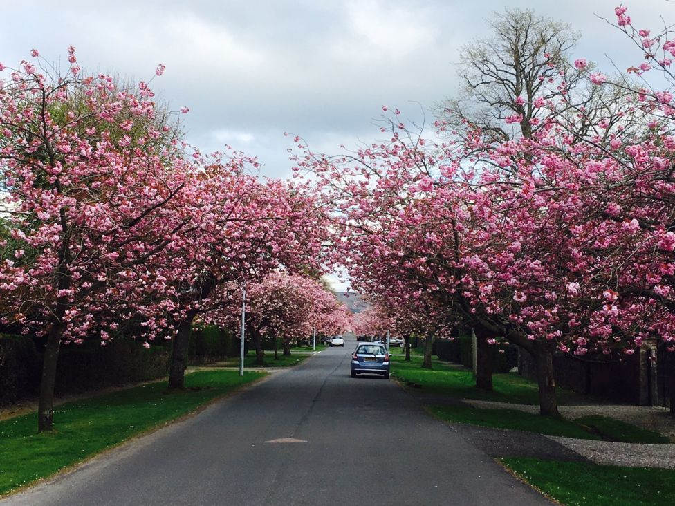 In Pictures Scotland In The Pink Blossom Trees Scotland Plants