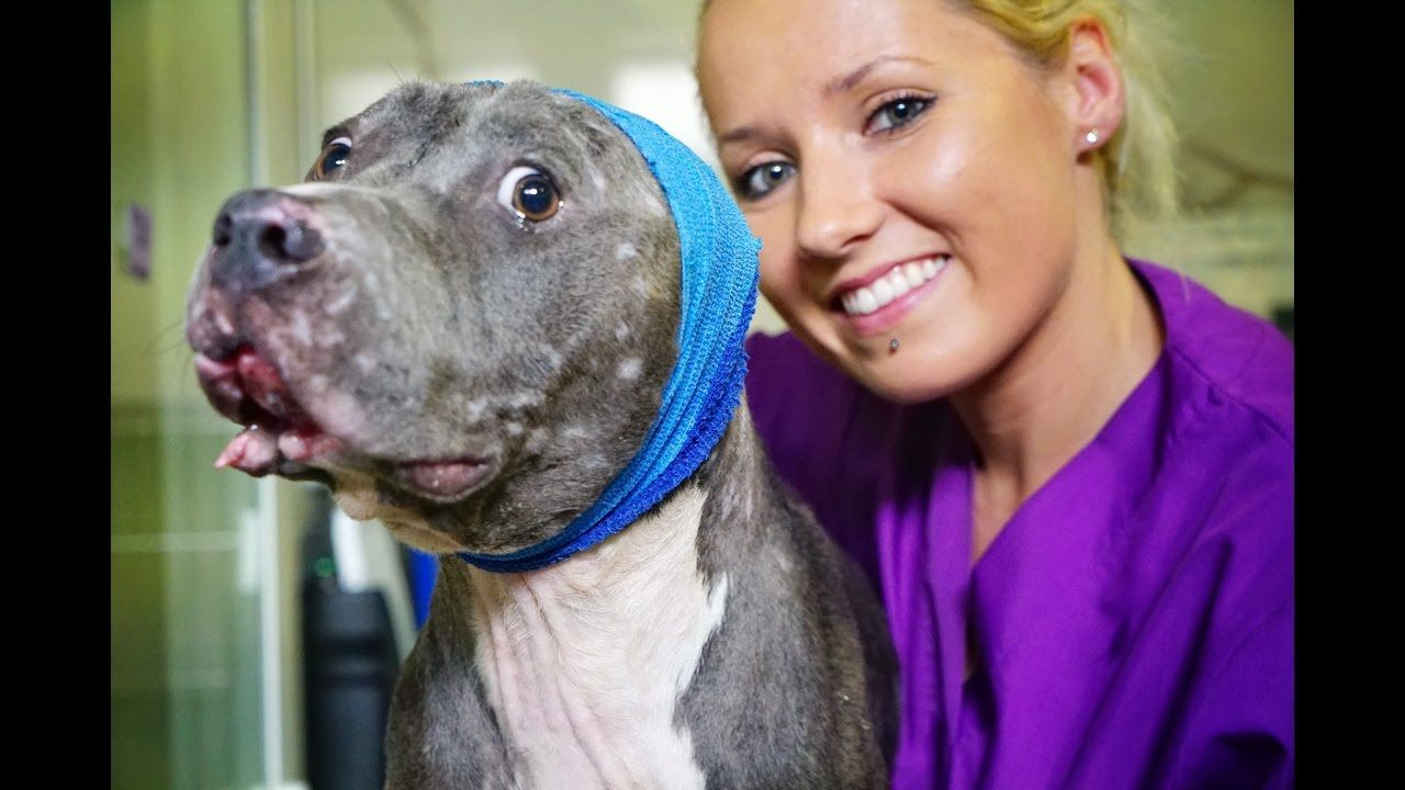 This pit bull refused to participate in dog fights