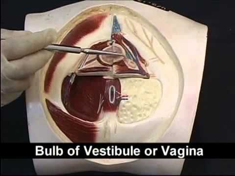 Anatomy Pelvis And Perineum Videos 2 Perineum Pelvis Anatomy Pelvis