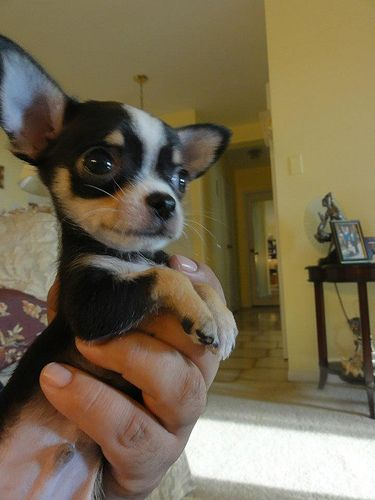 Couture Dog Bogie As A Puppy Of 3 Months Cute Chihuahua